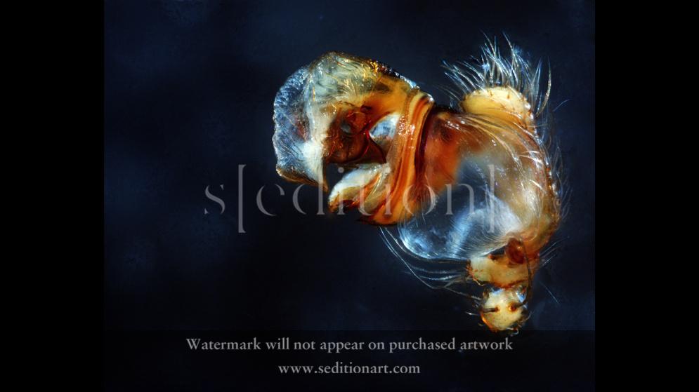 Araneus_bispinosus by natacha merritt