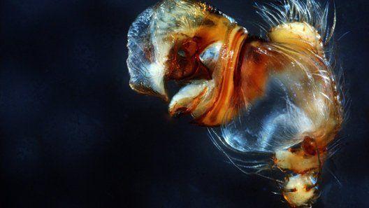 Araneus_bispinosus