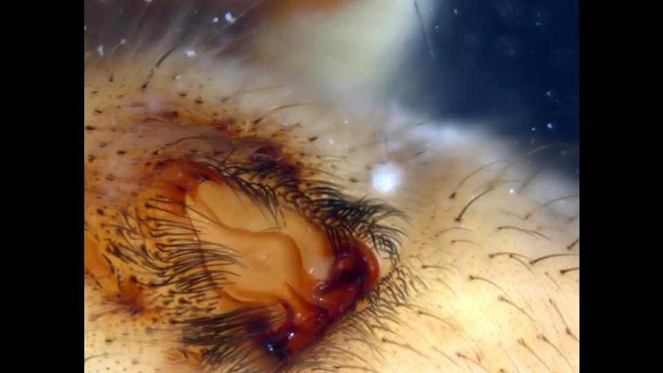 lycosid-epigynumby natacha merritt