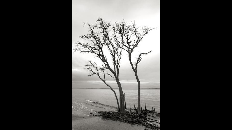 Tidal Tree On Port Royal Sound, Mitchellville Beach Park, Hilton Head, SCby John Rechin