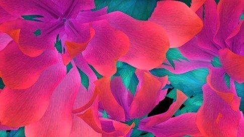Rose Throb