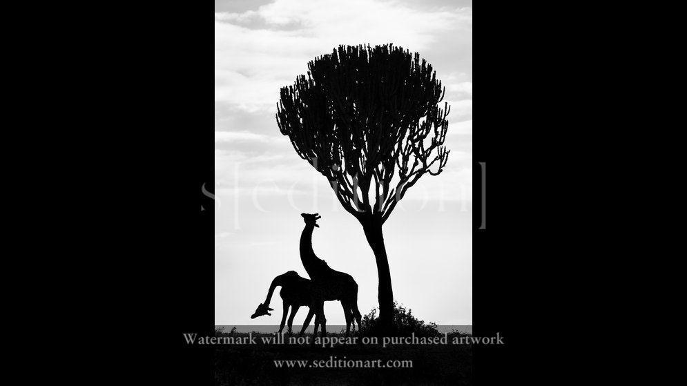 Necking Giraffes by Richard Garvey-Williams