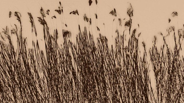Japanese reed