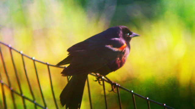 Little black bird perched on a fence.