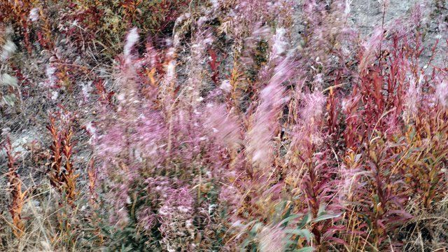 Fireweed Impressions