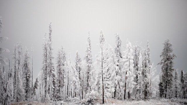 Boreal Forest in Frost