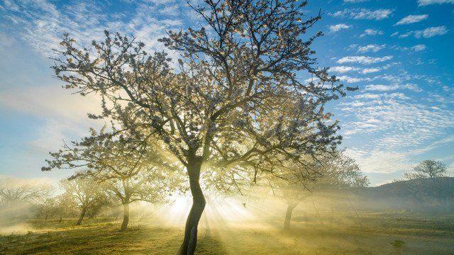 Almond Blossom, Ibiza