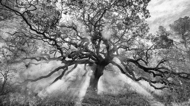 Holm Oak, Spain