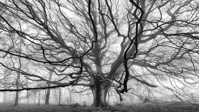 Beech, Broadley Wood