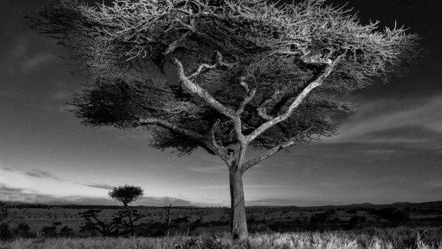 Whistling Thorn, Kenya