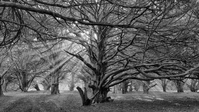 Secret Yew Wood