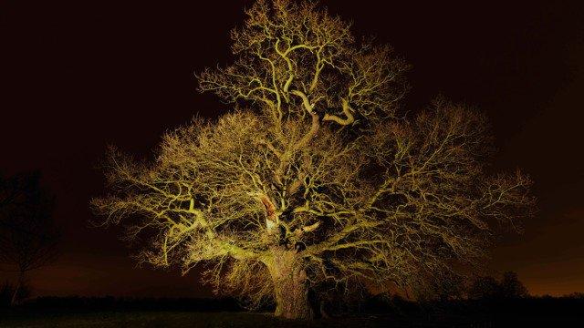 Hatfield Park Oak