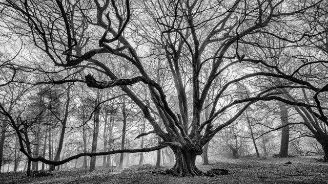 Hatfield Wood Hornbeam