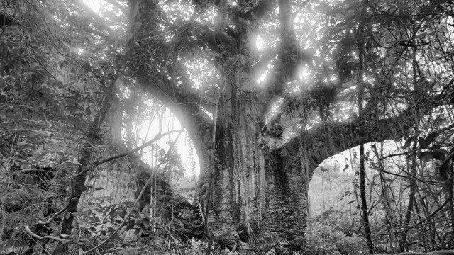 Baobab Nevis